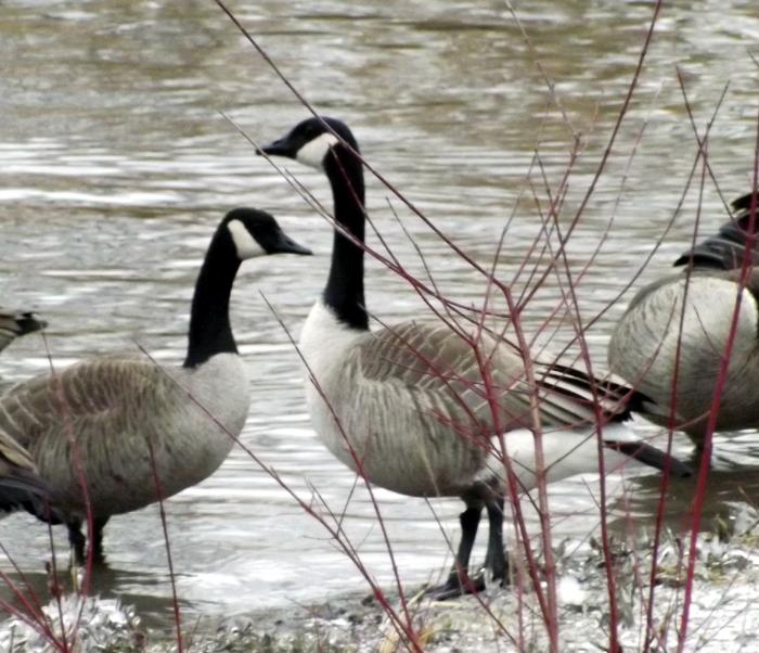 canada-goose-on-alert-winter